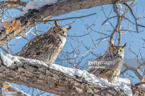 great horned owls looking around on its perch in snow - great horned owl stock pictures, royalty-free photos & images