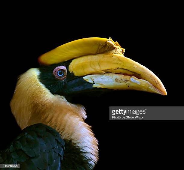 great indian hornbill - chester zoo stock pictures, royalty-free photos & images