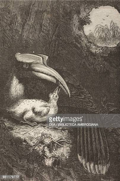 Great Indian hornbills with a chick drawing by A Mesnel from The Malay Archipelago 18611862 by Alfred Russell Wallace from Il Giro del mondo Journal...