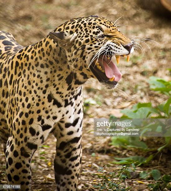Great Indian leopard