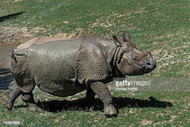 great indian rhinoceros (rhinoceros unicornis) after taking mudbath, captive, india - vista lateral stock pictures, royalty-free photos & images