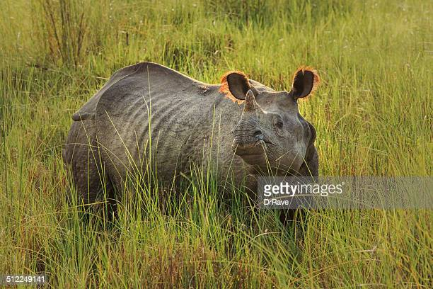 rhinoceros unicornis no nepal - um animal - fotografias e filmes do acervo