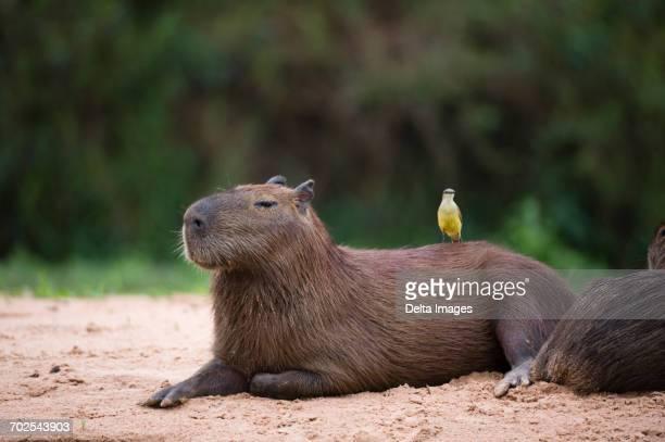 Great Kiskadee (Pitangus sulphuratus) perched on capybara (Hydrochaeris hydrochaeris) on riverbank, Pantanal, Mato Grosso, Brazil