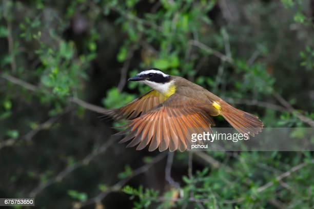 Great Kiskadee, Pitangus sulphuratus, in flight