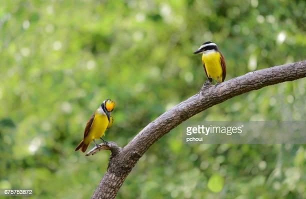 Great Kiskadee, Pitangus sulphuratus, showing up yellow crown to his female, courtship behavior