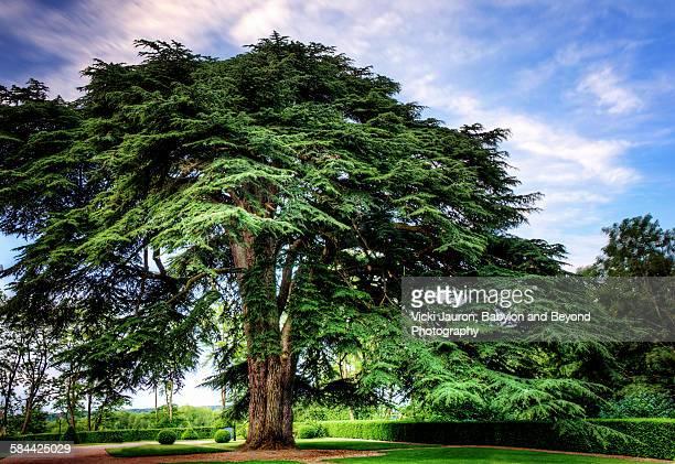 Great Lebanon Cedar in France's Loire Valley