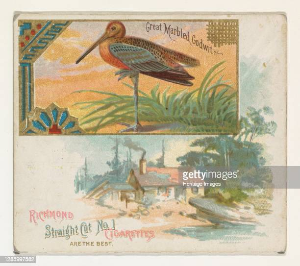 Great Marbled Godwit, from the Game Birds series for Allen & Ginter Cigarettes, 1888-90. Artist Allen & Ginter.