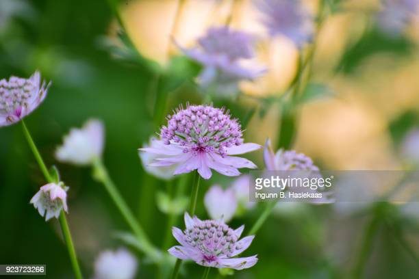 Great masterwort (Astrantia major) in the garden at summer sunset. Focus on the flower heads. Defocused back with bokeh from the setting sun.