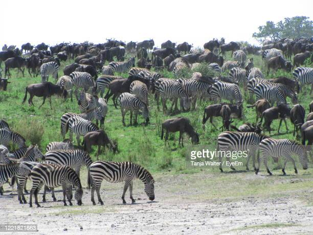 great migration in the serengeti - animated zebra stock pictures, royalty-free photos & images