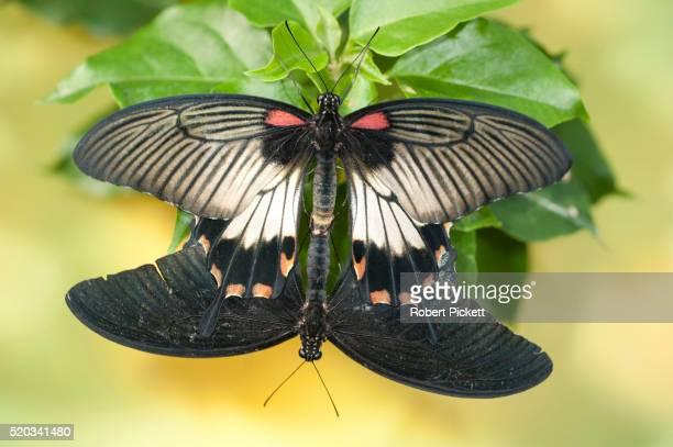 great mormon butterfly - accouplement animal photos et images de collection