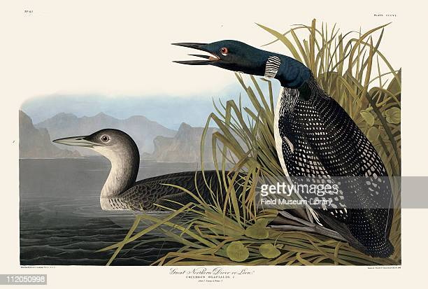 Great Northern Diver or Loon Plate 306 in John James Audubon's Birds of America late 1830s