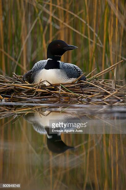Great Northern Loon (Gavia immer)