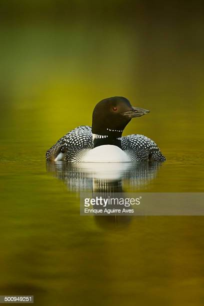 great northern loon (gavia immer) - common loon stock pictures, royalty-free photos & images