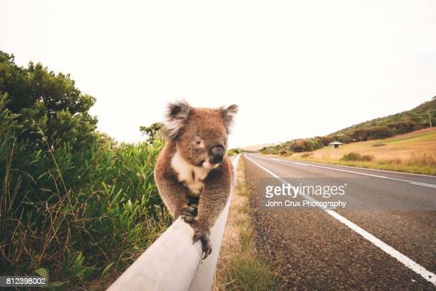 great ocean road koala - koala stock photos and pictures