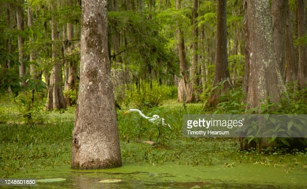 a great or common egret (ardea alba), neck extended, wades in a swamp among bald cypress trees - timothy hearsum stockfoto's en -beelden