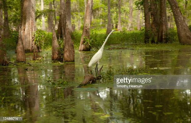 a great or common egret (ardea alba), neck fully extended, stands in a swamp among bald cypress trees - timothy hearsum stock pictures, royalty-free photos & images