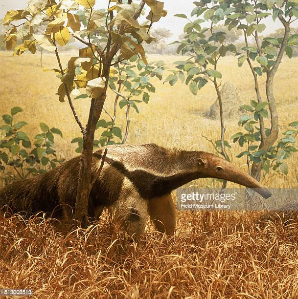 Great or Giant Anteater diorama, located in Hall 16 of the Field Museum, 1982. The animals are shown in the light forest or semi-savanna of...