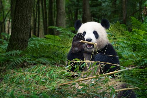 Great Panda bear sitting at the rainforest 865015440