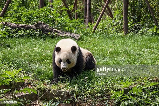 素晴らしいパンダ、四川省、成都、中国