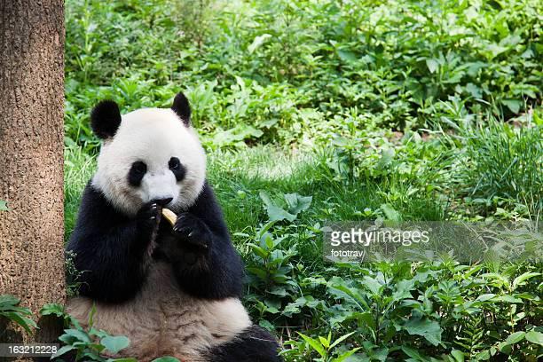 Great Panda eating banana - Chengdu, Sichuan Province, China