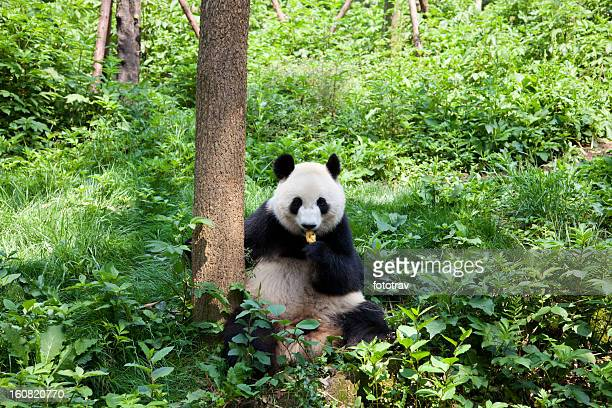 great panda in the nature - giant panda stock pictures, royalty-free photos & images