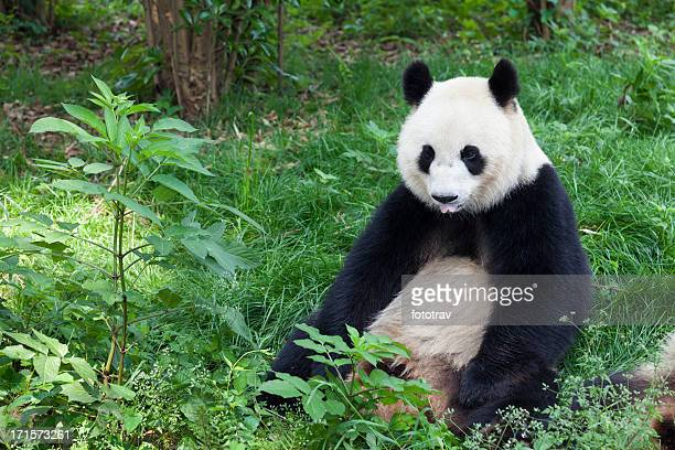 Great Panda showing its tongue - Chengdu, Sichuan Province, China