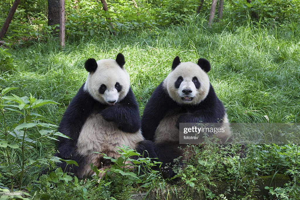 Great Pandas looking at the camera - Chengdu, Sichuan, China : Stock Photo