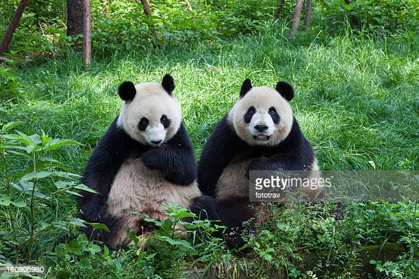 great pandas looking at the camera - chengdu, sichuan, china - giant panda stock pictures, royalty-free photos & images