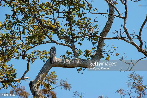 Great potoo perched in a tree near Porto Jofre in the northern Pantanal Mato Grosso province in Brazil