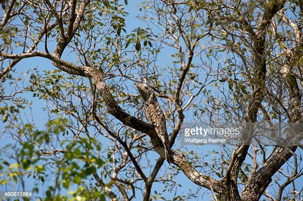 A great potoo perched in a tree near the Pouso Alegre Lodge in the northern Pantanal Mato Grosso province of Brazil