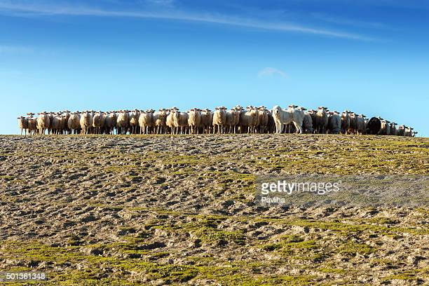 Des Pyrénées chien formation de troupeau de moutons en Toscane, Italie
