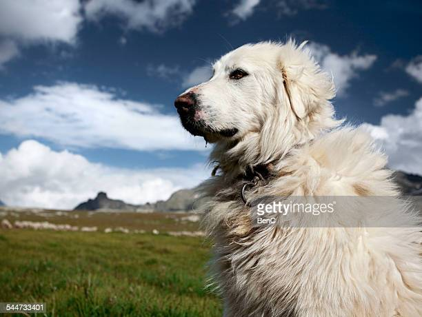 great pyrenees dog watching his flock - midi pyrénées stock photos and pictures