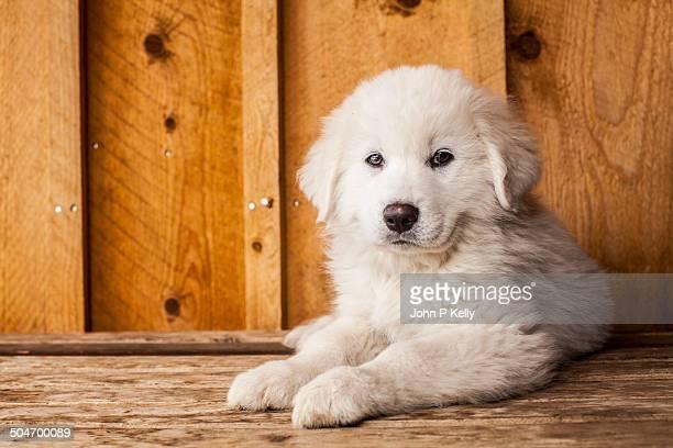 great pyrenees puppy - コロラド州 ニューキャッスル ストックフォトと画像