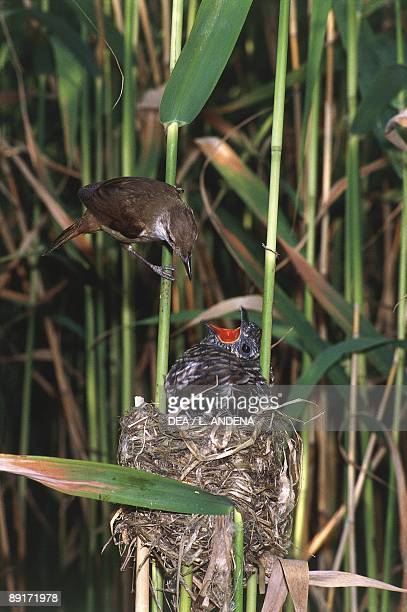 Great Reed Warbler feeding Common Cuckoo in nest