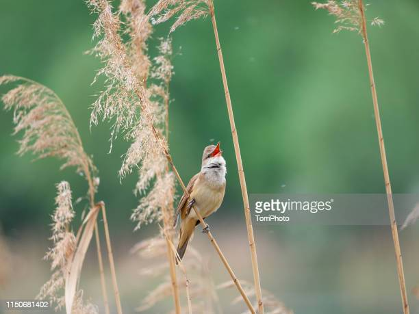 great reed warbler - birdsong stock pictures, royalty-free photos & images