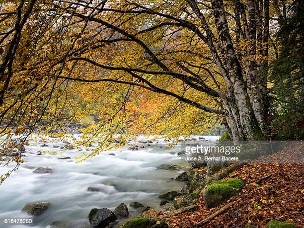 Great river of mountain crossing a forest of beeches in autumn