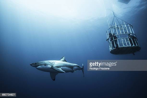 great shark investigating cage divers, guadalupe island, mexico - great white shark stock photos and pictures
