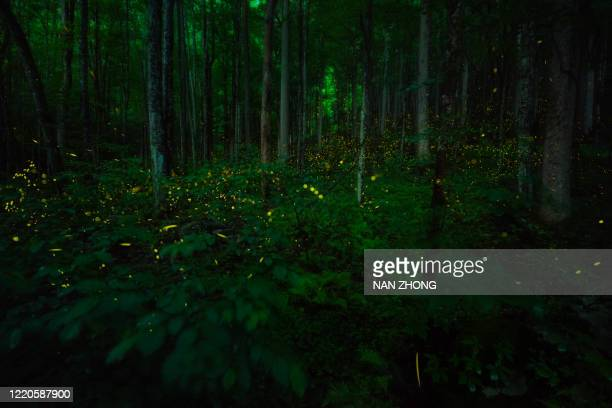 great smoky mountains synchronous fireflies - great smoky mountains stock pictures, royalty-free photos & images