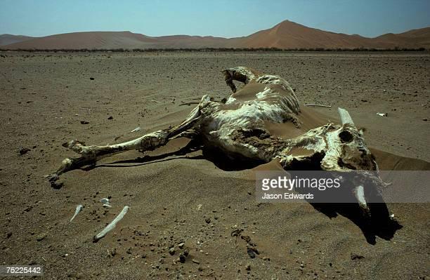a desiccated gemsbok skeleton rests amongst the baking sand dunes. - animal skeleton - fotografias e filmes do acervo