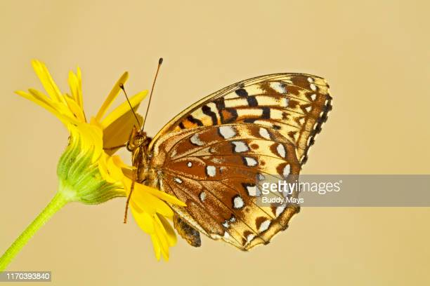 great spangled fritillary butterfly on a wildflower - animal abdomen stock photos and pictures