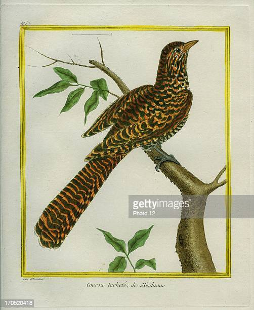Great Spotted Cuckoo Clamator glandariusGreat Spotted CuckooGeorgesLouis Leclerc Comte of Buffon 'Natural History of birds fish insects and reptiles'...