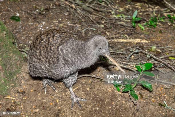 great spotted kiwi ( apteryx hasstii ) - kiwi bird ストックフォトと画像