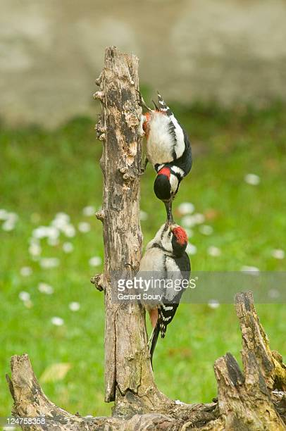 Great Spotted Woodpecker (Dendrocopos major) adult male (above) feeding juvenile, Ile de France, France