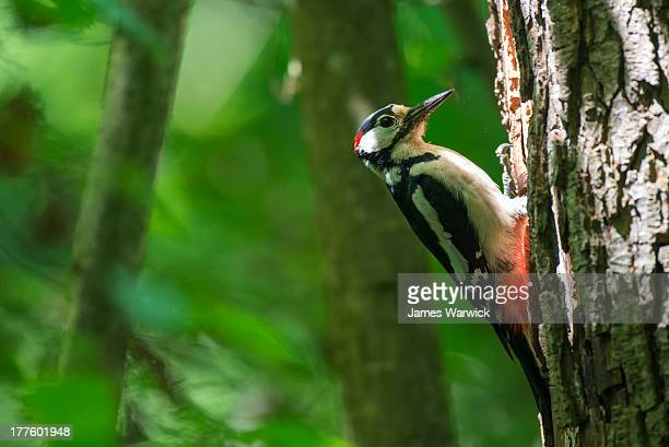Great spotted woodpecker at nest hole