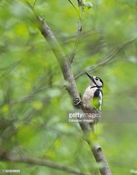 Great spotted Woodpecker Dendrocopos major in woodland Norfolk