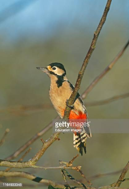 Great Spotted Woodpecker Dendrocopos major Kent UK winter