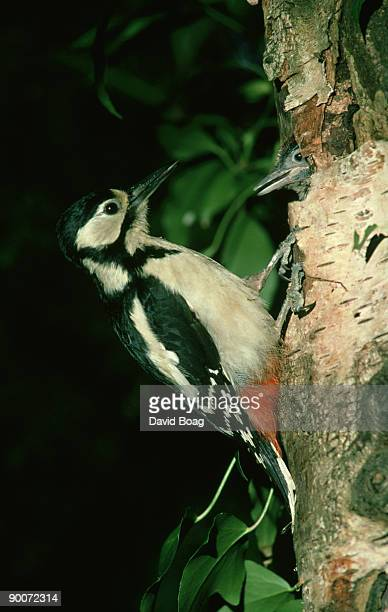 Great spotted woodpecker: dendrocopos major