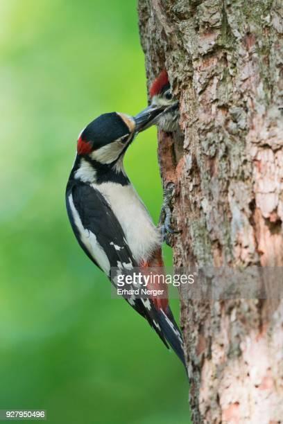 great spotted woodpecker (dendrocopos major) feeding young bird at nesting hole, emsland, lower saxony, germany - pica pau malhado grande - fotografias e filmes do acervo
