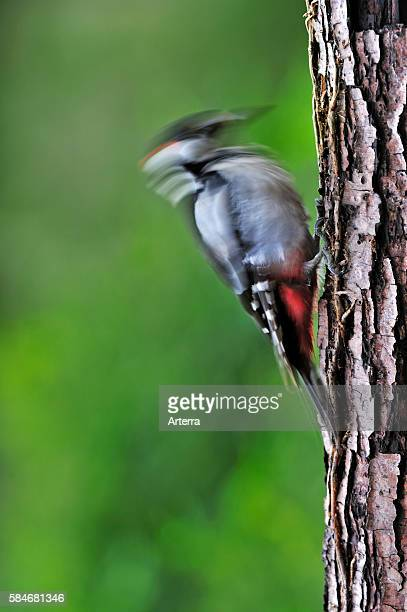 Great Spotted Woodpecker / Greater Spotted Woodpecker male drumming on tree trunk in forest Belgium