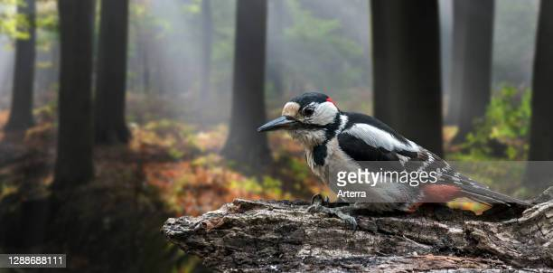 Great spotted woodpecker / greater spotted woodpecker male foraging on tree stump in broad-leaved forest.